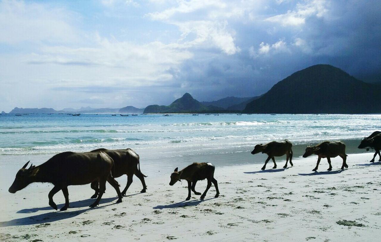 Water Buffalo Family Buffalo Beach Lombok