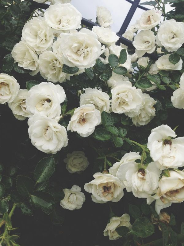 Pretty flowers. Flowers Roses Taking Photos Flower Plants Check This Out Hello World Nature EyeEm Nature Lover Hanging Out
