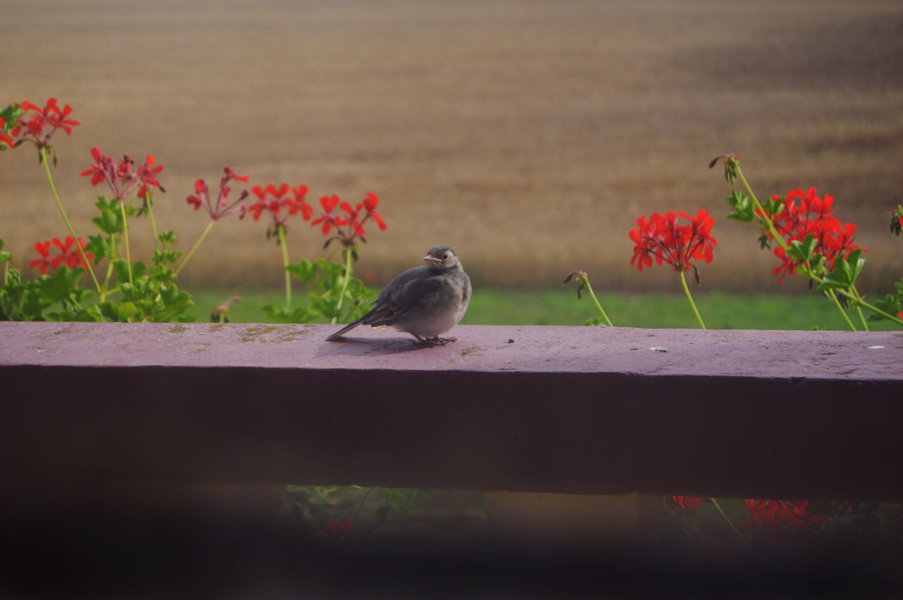flower, animals in the wild, animal themes, bird, no people, nature, beauty in nature, perching, animal wildlife, day, outdoors, one animal, red, retaining wall, fragility, sparrow, freshness, close-up