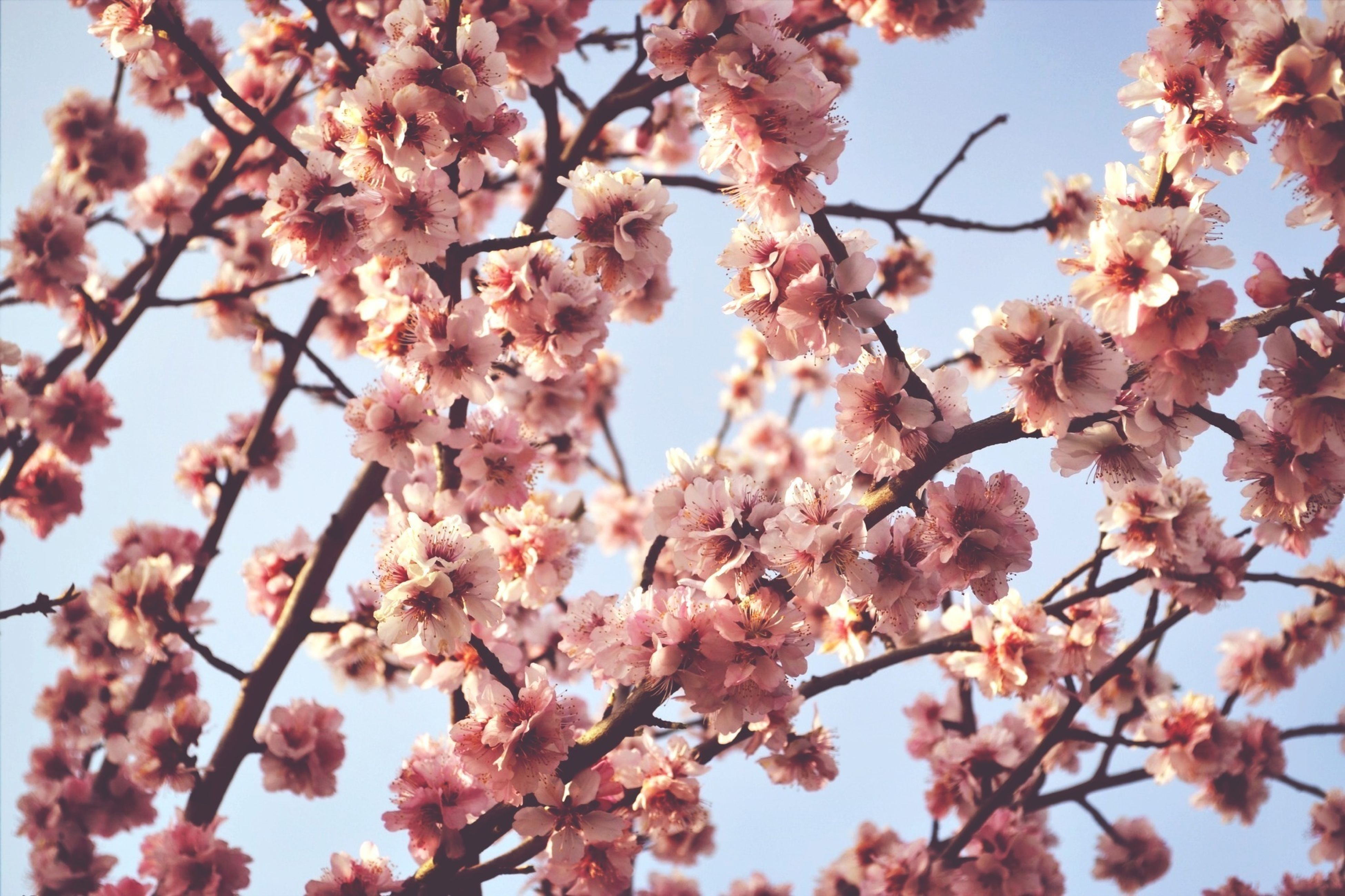 flower, branch, freshness, tree, growth, low angle view, beauty in nature, blossom, fragility, cherry blossom, nature, cherry tree, pink color, springtime, in bloom, blooming, fruit tree, twig, petal, outdoors