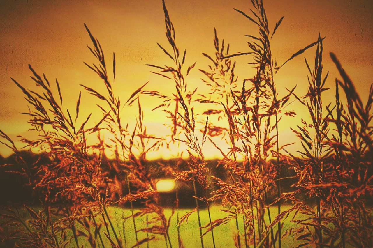 growth, nature, plant, tranquility, tranquil scene, outdoors, field, beauty in nature, sunset, no people, grass, sky, scenics, rural scene, timothy grass, day, close-up