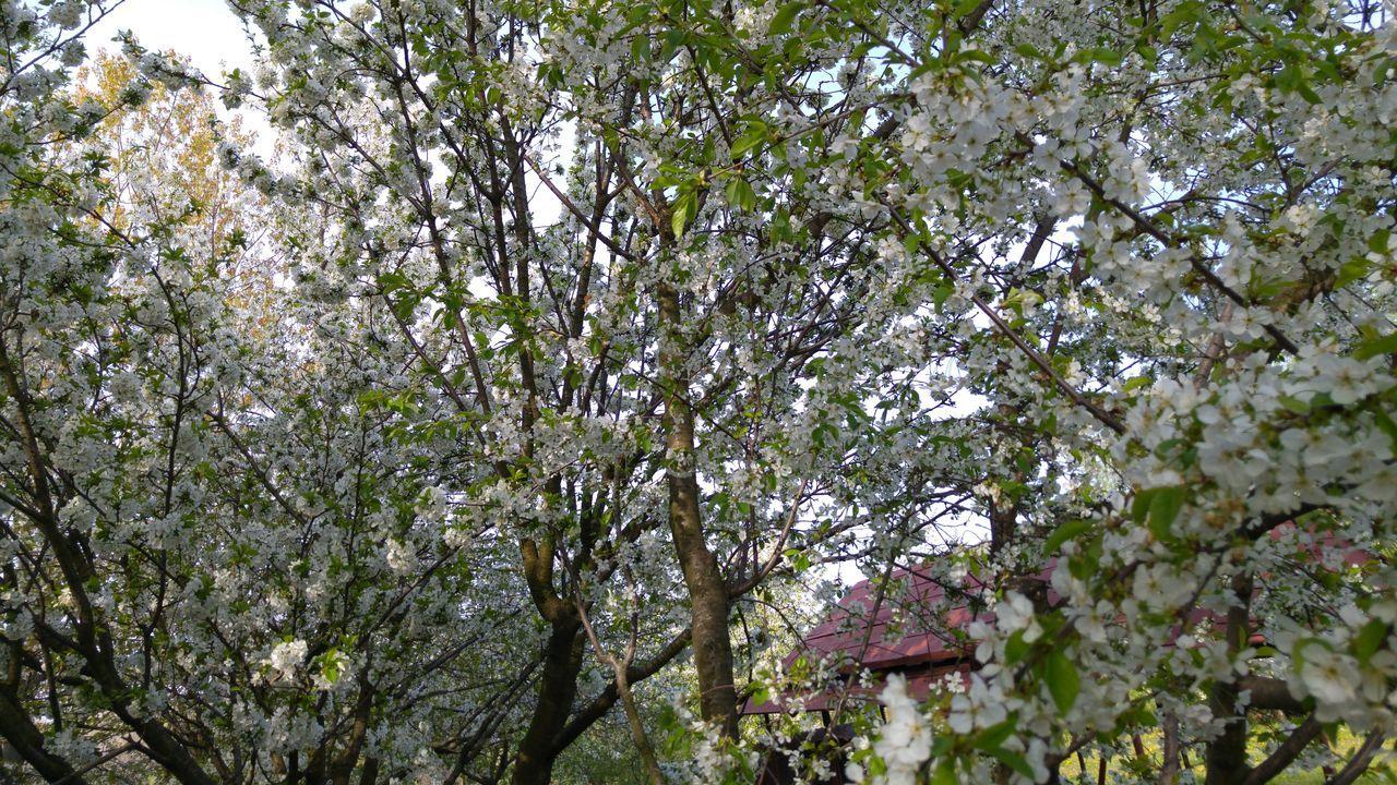Showcase April Trees Trees Flowers Cherry Tree Cherry Tree Flower Spring Cherry Blossom