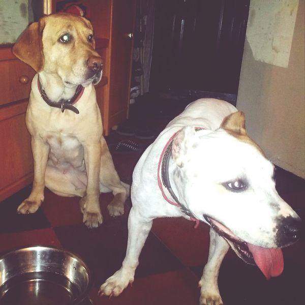 Dogs Labrador Staf