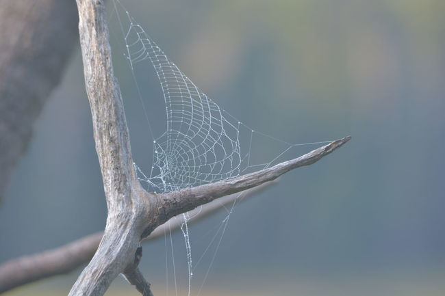 Animal Themes Beauty In Nature Branch Close-up Day Focus On Foreground Fragility Nature No People One Animal Outdoors Spider Web, Dew, Morning, Tranquility Zoology