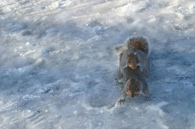 Animal Themes Cold Cold Temperature Frozen Frozen Nature Frozen Snow Full Frame High Angle View Humor Ice Age Nature Season  Snow Snow ❄ Squirels Sub Zero Subzero Survival Survival Of The Fittest Winter Ice A Make Love To Me Baby Physical Therapy Keeping Warm Procreate