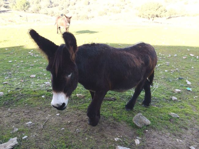 Donkey Domestic Animals Animal Themes Mammal Grass Standing Field Livestock Full Length No People Nature Landscape Outdoors Day Togetherness