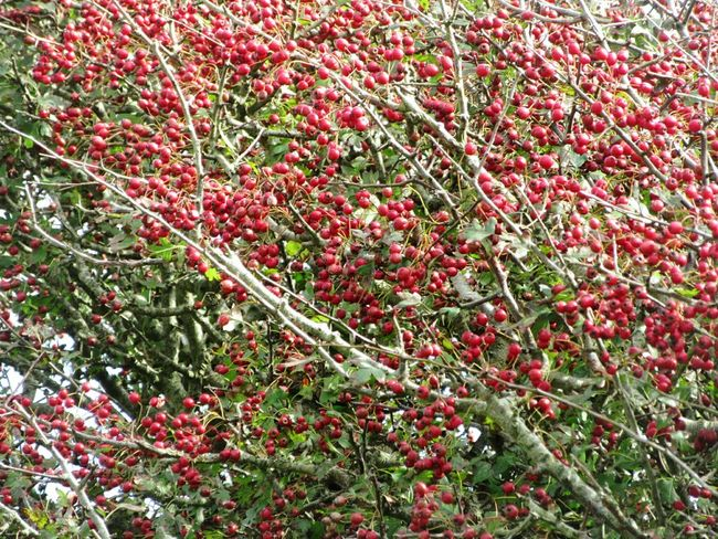 Hawthorn berries Growth Freshness Red Beauty In Nature Nature Branch Day Botany Full Frame Vibrant Color Outdoors Berry Berry Trees Hawthorn Autumn Mizen Peninsula Ireland