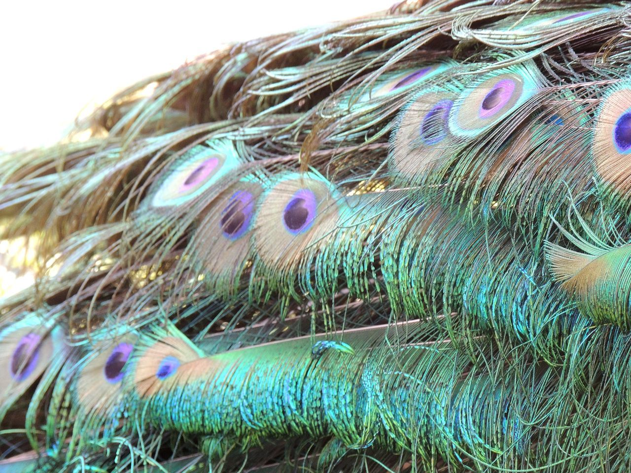 Beauty Bird Photography Blue Close-up Colorful Delicate Beauty Detail Feather  Focus On Foreground Multi Colored Natural Pattern Natural World Peacock Feathers Selective Focus Turquoise Colour