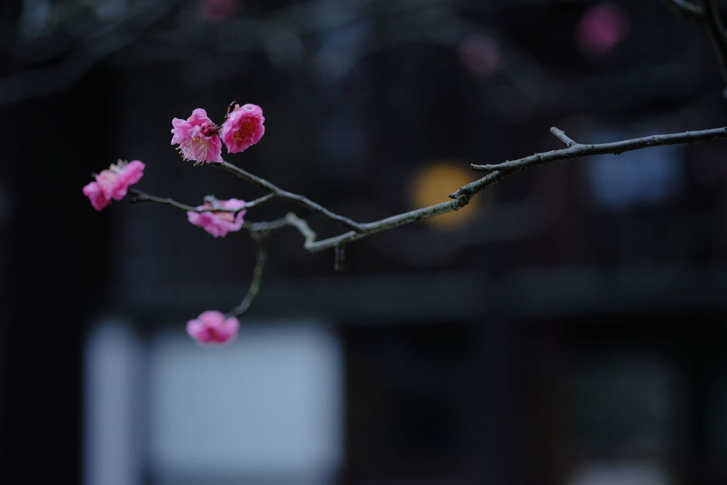 If winter comes , can spring be far behind? Ume Japanese Ume Flowers, Nature And Beauty Blooming Nature On Your Doorstep Early Spring Fujifilm Fujifilm_xseries Xf60 Pro Neg. Hi The Purist (no Edit, No Filter) Japanese Plum Blossom