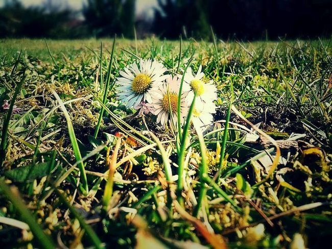 Beauty In Nature Blossoming Nature Daisy Flower Details Of Nature Flovers Nature Grass Nature Sun Day