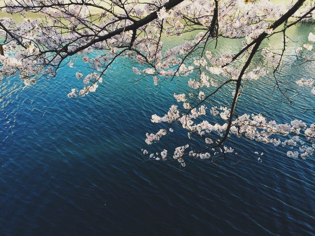my favourite Sakura / Cherryblossom spot By The River