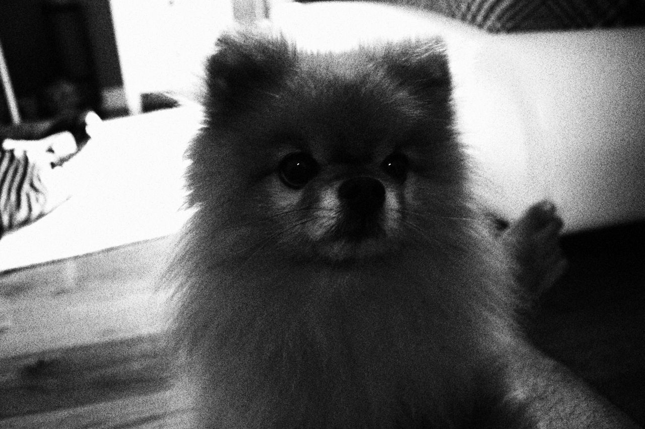 pets, one animal, dog, mammal, domestic animals, animal themes, indoors, home interior, pomeranian, portrait, looking at camera, close-up, no people, day