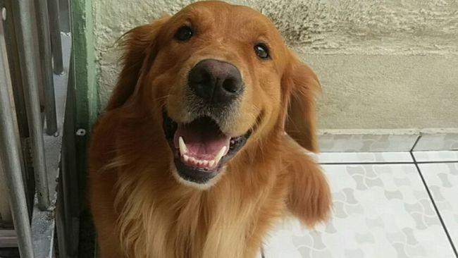 Dog❤ Mydog ♥ Goldenretriever Golden First Eyeem Photo
