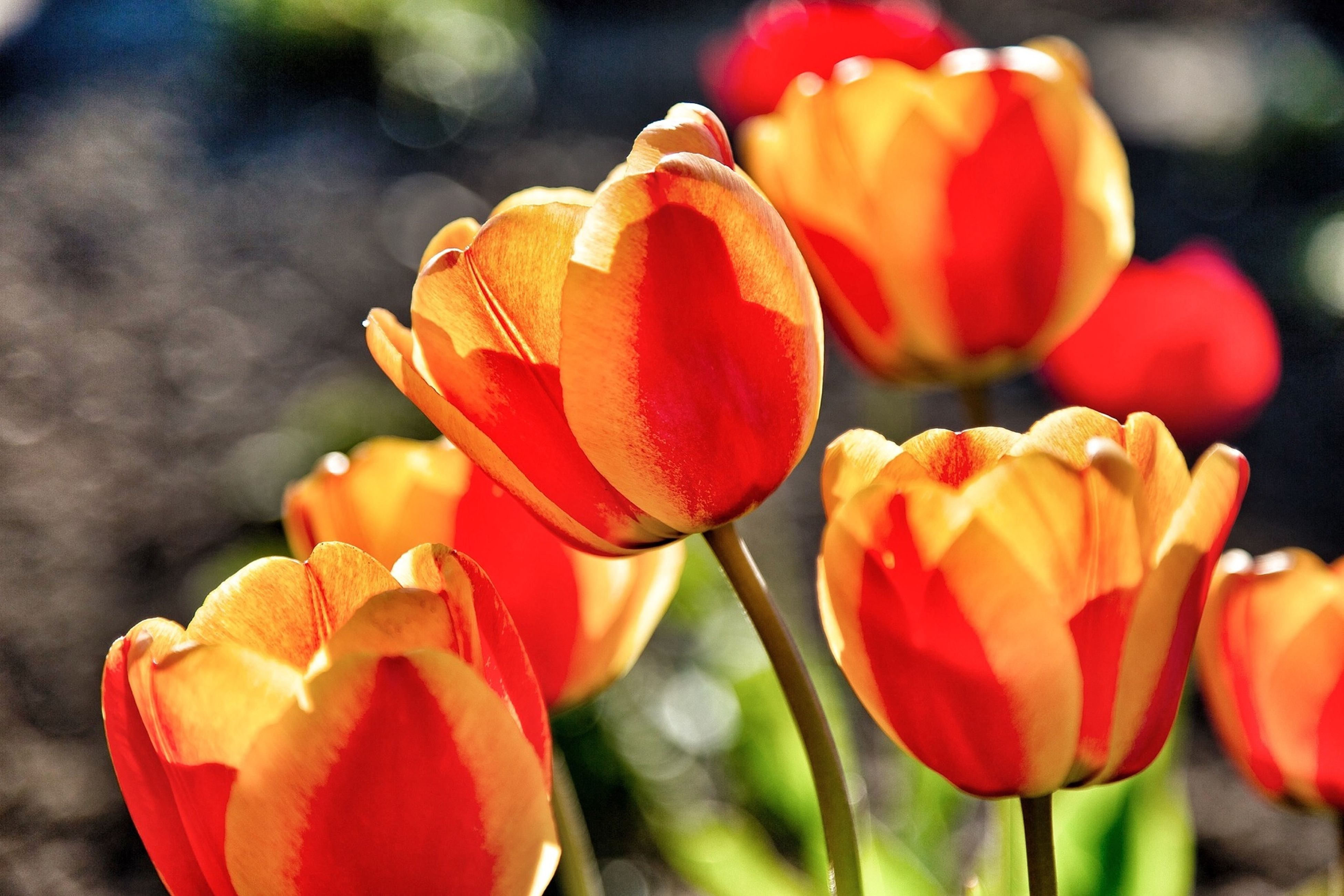 flower, petal, freshness, fragility, flower head, growth, focus on foreground, beauty in nature, tulip, close-up, red, blooming, nature, plant, bud, orange color, stem, field, in bloom, selective focus