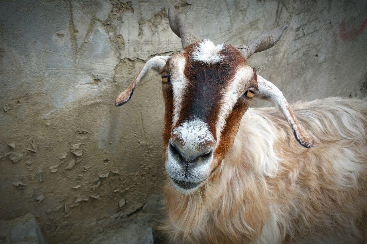 Beautiful stock photos of goat, Animal Head, Animal Themes, Close-Up, Domestic Animals
