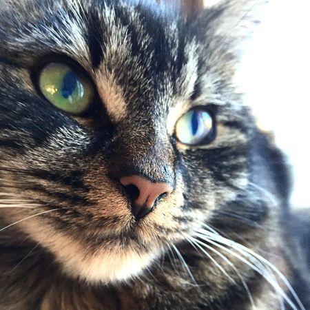 Tabby cat gazing Cat Tabby Tabby Cat Gaze Beautiful Eyes Mammal Small Animal Domestic Animals Pet