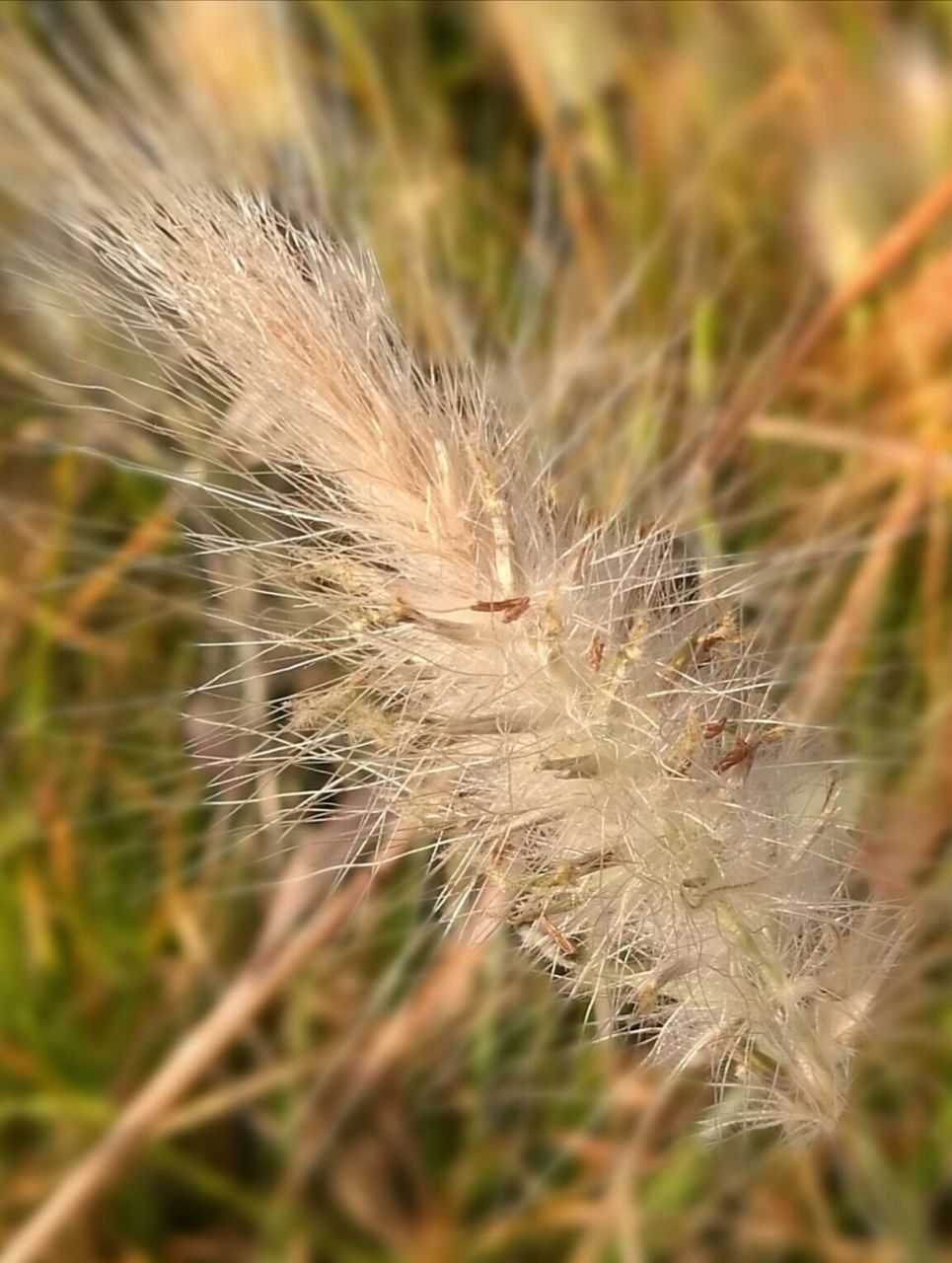 nature, growth, fragility, beauty in nature, plant, close-up, dandelion, softness, ear of wheat, no people, flower, focus on foreground, uncultivated, seed, field, day, cereal plant, wheat, lightweight, agriculture, outdoors, freshness, flower head, grass