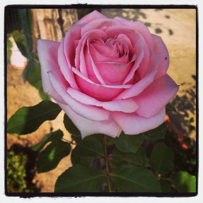 Hello World Relaxing Flowers rose
