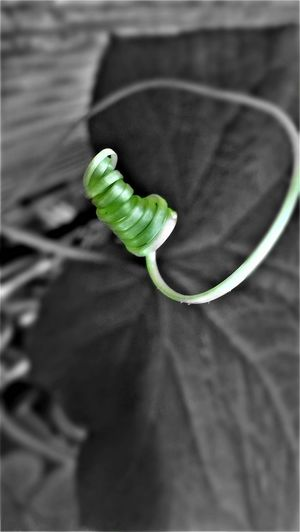 Cucumber Close-up Connection Cucumber Tops Day Green Color Indoors  No People Selective Focus
