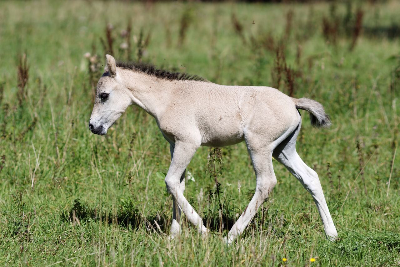 Fresh Newly Born Konik Horse Nature On Your Doorstep Animals In The Wild