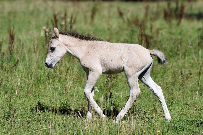 Fresh Newly Born Konik Horse Nature On Your Doorstep Animals In The Wild