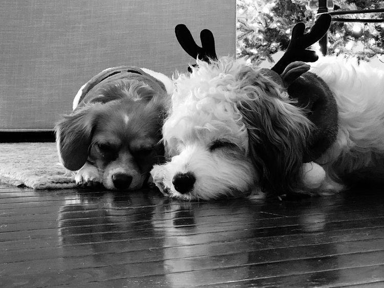 Vintage Beauregard and Enzo Merry Christmas Cavachon Dogs Of EyeEm Christmas Dog Pets Domestic Animals Animal Themes Mammal Animal Puppy Close-up Indoors  No People