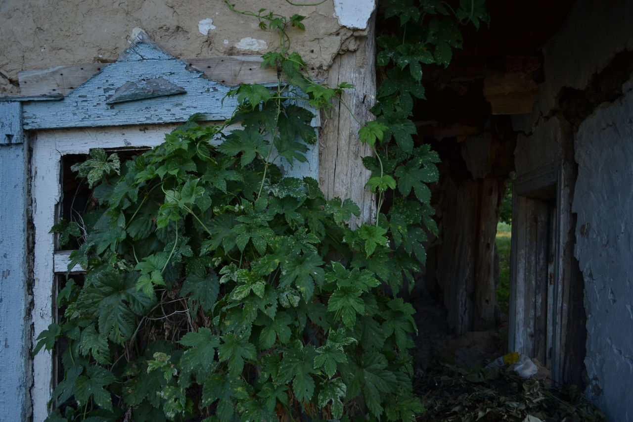 plant, growth, architecture, ivy, no people, leaf, nature, built structure, day, outdoors, close-up