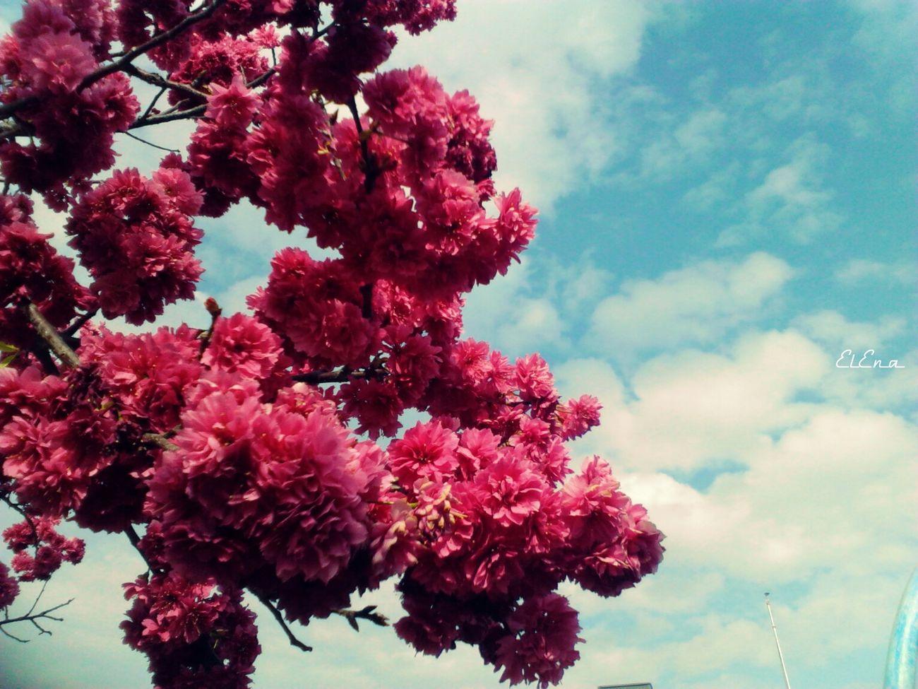 Flowers,Plants & Garden 櫻 Eye4photography  八重櫻