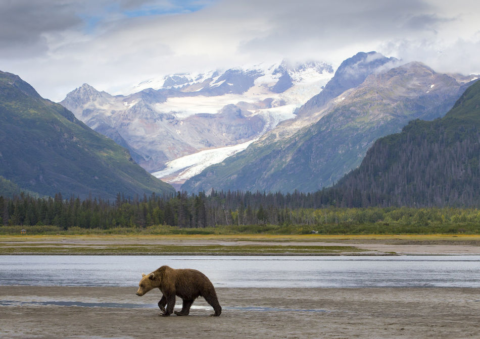 Grizzly Animal Animal Themes Day Grizzly Bear Lake Landscape Mountain Mountain Peak Mountain Range Natural Parkland Nature No People One Animal Scenics Snow Snowcapped Mountain Travel Destinations Wilderness Area