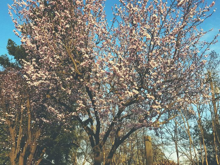 Part of my backyard. No People Beauty In Nature Outdoors Close-upLow Angle View Sky Backgrounds Cherry Blossoms Tree Nature