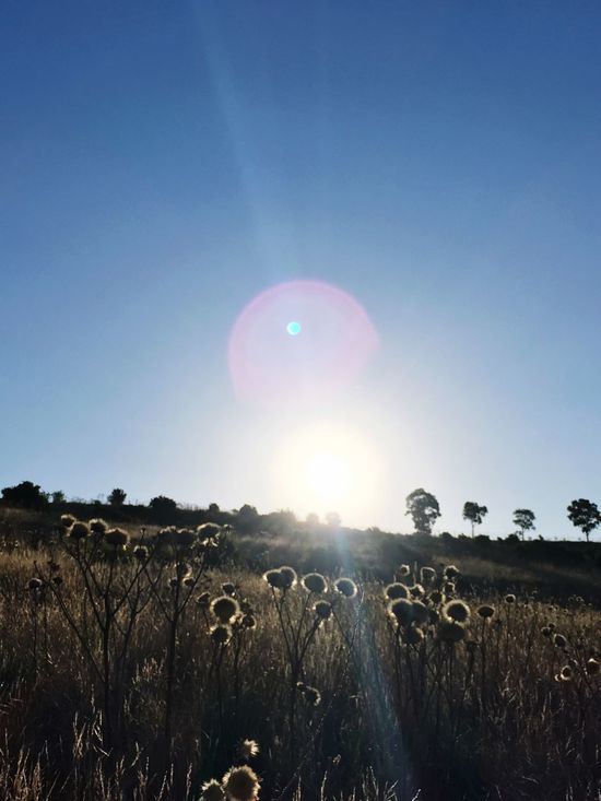 Sun Field Nature Lens Flare Beauty In Nature No People Tranquility Outdoors Many Blessings Wonders Will Never Cease To Amaze Me.. Hello World Sunshine Focus On Foreground Sunlight Scenics Landscape Tranquil Scene Growth Tranquility Sky Agriculture Rural Scene Clear Sky Day Astronomy
