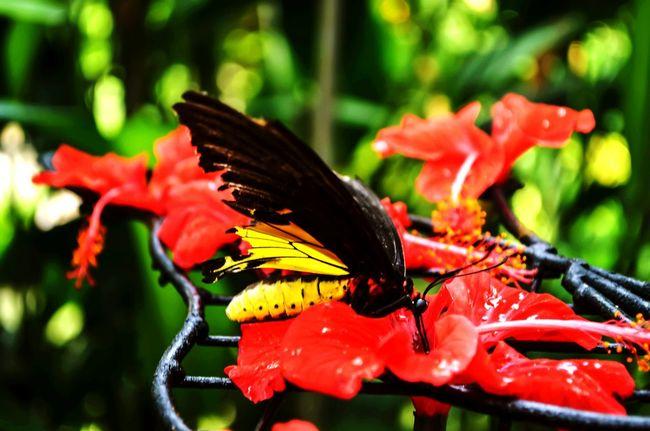 Beautiful creature! Baterfly Garden. Penang, Malaysia. Baterfly Baterfly Garden Garden Nature Macro Insects  Malaysia Penang