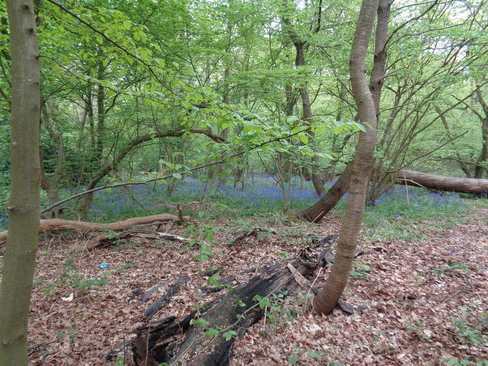 Bluebell Wood Bluebells EyeEm EyeEm Best Shots EyeEm Gallery EyeEm Nature Lover Fallen Tree Woods