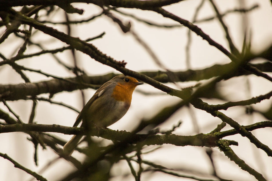 Bird Branch Little Redbreast Nature No Leafs Outdoors Robin Selective Focus Tree Twig Wildlife