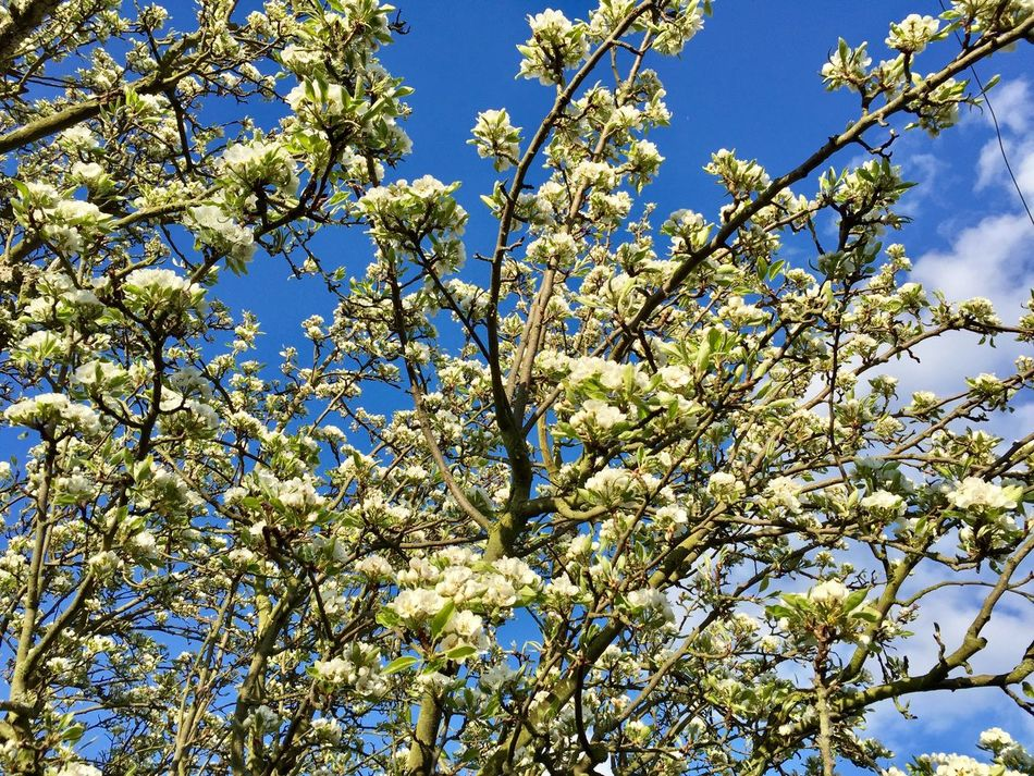 Tree Branches Blossoms  Spring Blue Sky Fragility No People Growth Green Leaves Outdoors Freshness Day Sky And Clouds Sunshine Trees And Sky