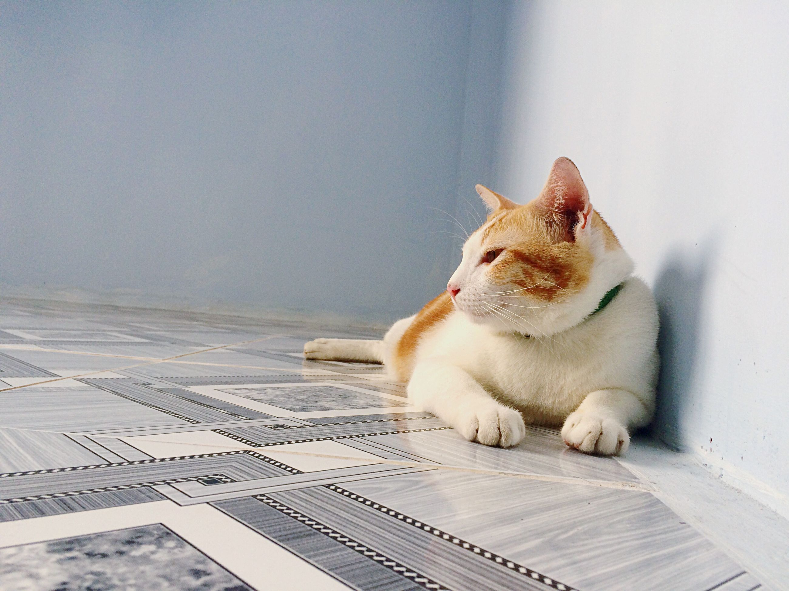 pets, one animal, animal themes, domestic animals, domestic cat, cat, sitting, mammal, looking away, indoors, close-up, watching, white, feline, whisker, curiosity, zoology, day, no people, at home