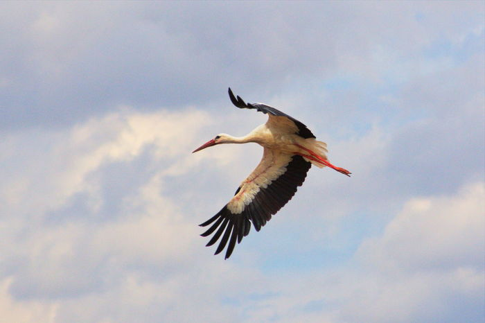 Animal Themes Animal Wildlife Animals In The Wild Beak Beauty In Nature Bird Cloud - Sky Day Flying Low Angle View Mid-air Motion Nature No People One Animal Outdoors Sky Spread Wings Stork White Stork Pet Portraits Pet Portraits EyeEmNewHere