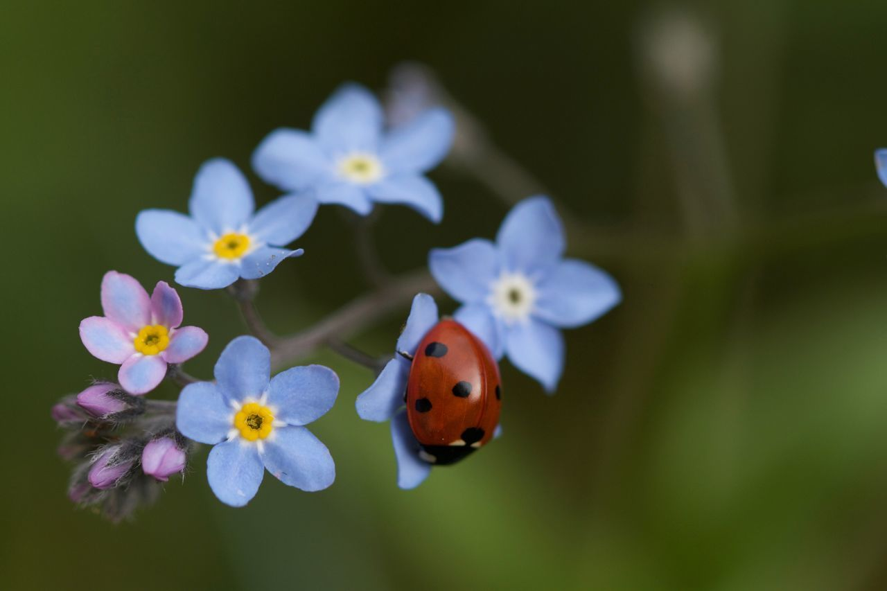 Beauty In Nature Coccinella Coccinelle Flower Flower Head Fragility Green Color Insect Ladybug Nature No People Petal