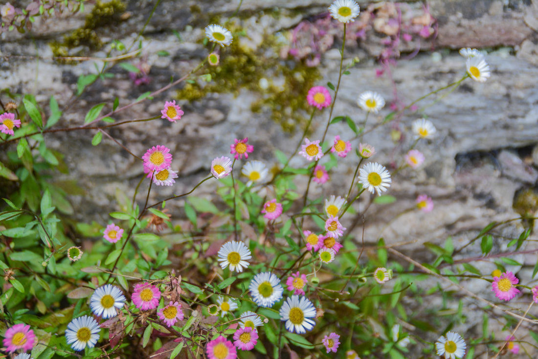 Aster Beauty In Nature Blooming Blossom Botany Close-up Daisy Day Flower Flower Head Flowering Plant Fragility Freshness Green Growth In Bloom Leaf Nature Outdoors Petal Pink Plant Rock Flowers Springtime Wildflower