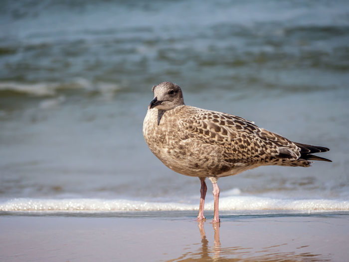 Great Black-backed Gull on the beach sand against the sea Animal Themes Animal Wildlife Animals In The Wild Beach Bird Day Great Black-backed Gull Nature No People One Animal Outdoors Sea Seagull Water