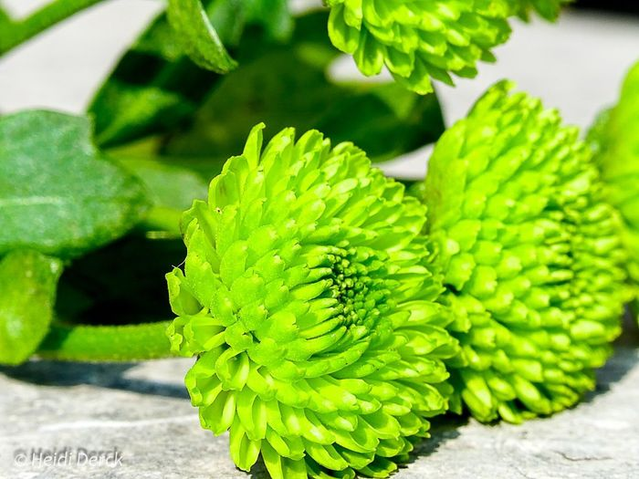 Macro_collection Sony Dsc Hx60v Flower Head Macro_collection Nature_collection EyeEm Best Shots EyeEm Nature Lover EyeEm Nature Lover Beauty In Nature Flower Nature Photo♡ Close-up Green Color Green
