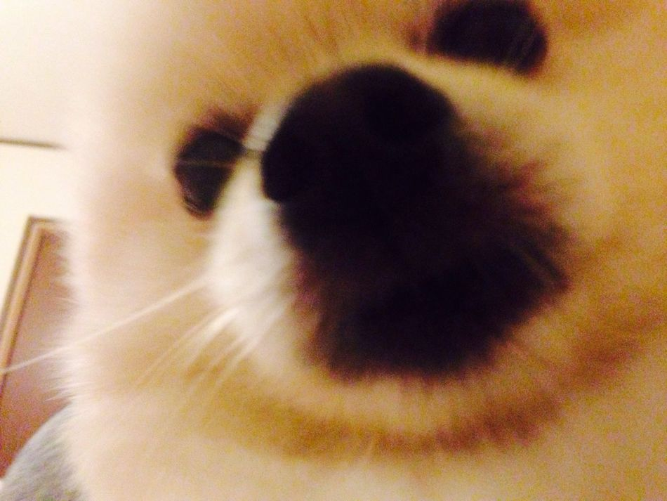 Korosuke I Love My Dog Dog Pomeranian