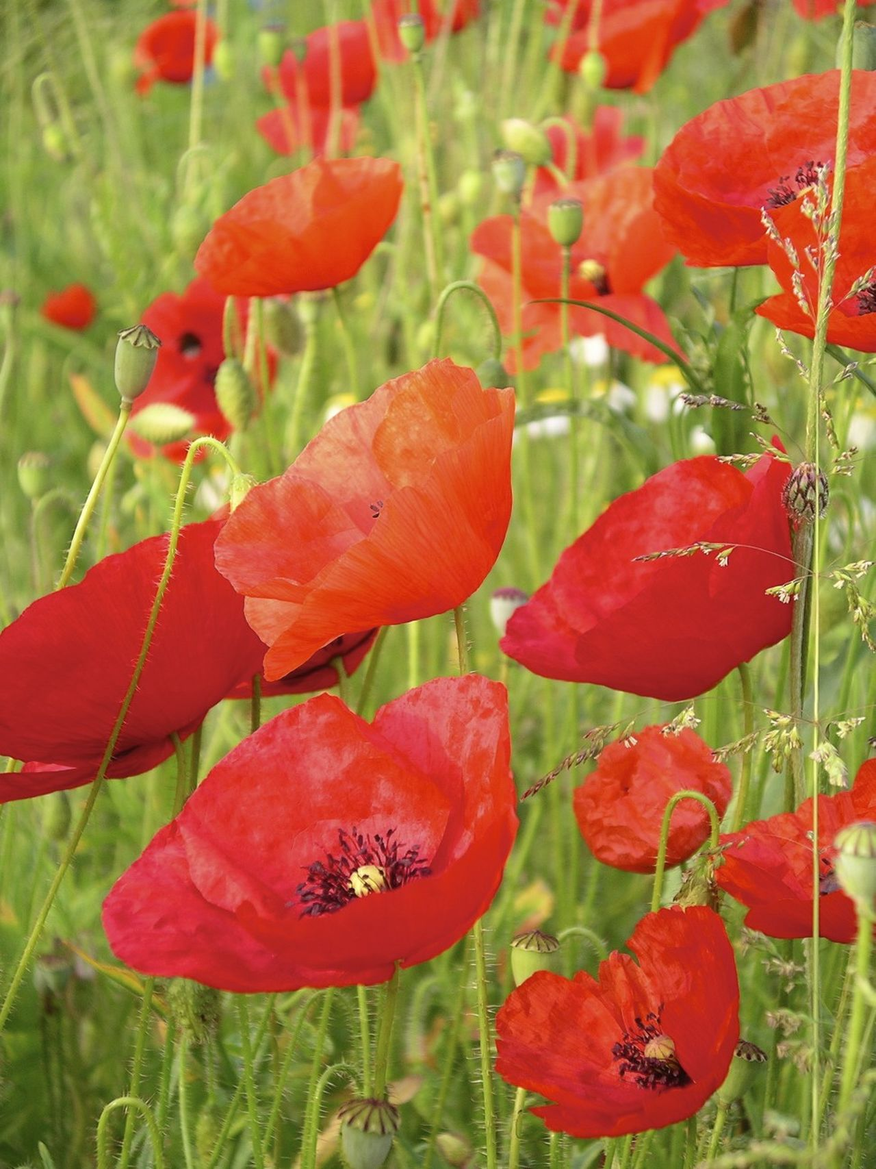 Poppy field Beauty In Nature Flower Flower Head Nature Plant Poppies  Poppies In Bloom Poppy Red Remembering Remembrance Day