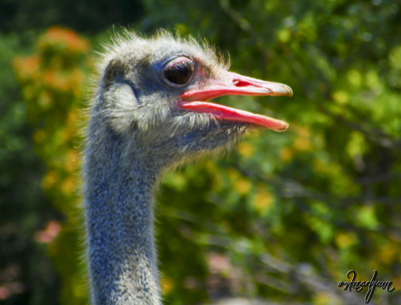 bird, animal themes, one animal, focus on foreground, close-up, animal head, day, animals in the wild, no people, beak, nature, animal wildlife, ostrich, outdoors