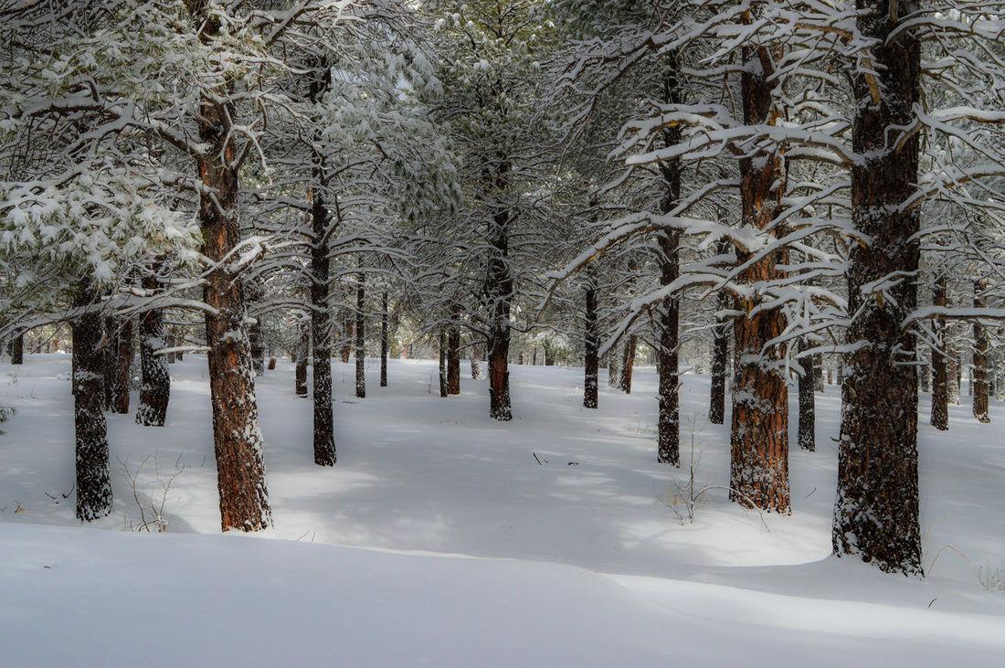 Forest Showcase: February Forbidden Forest Nikon D3200 Snow Winter Trees Winter Evergreen Snowcoveredtrees EyeEm Best Shots Arizona Outdoor Photography EyeEm Nature Lover Beautiful Day