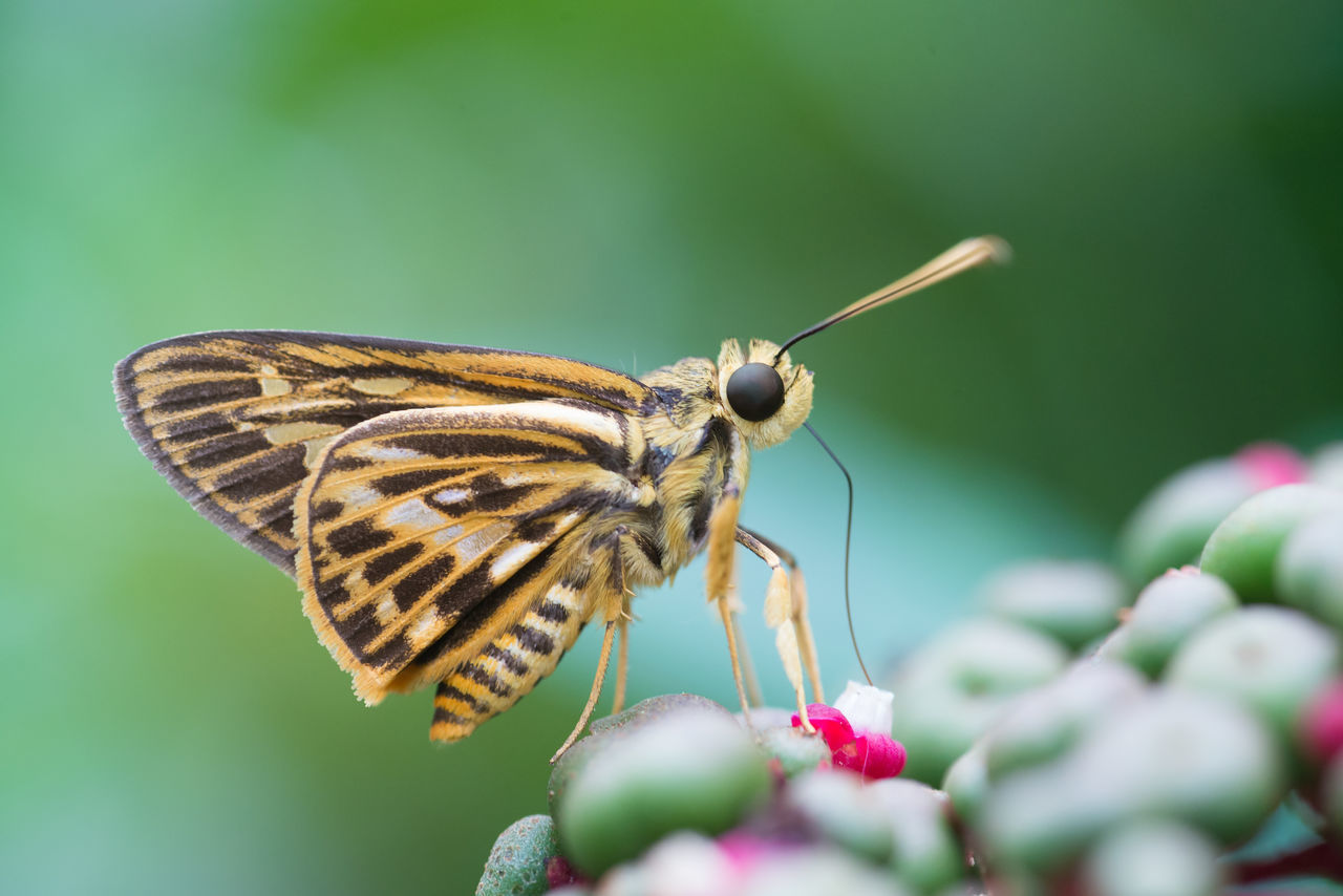 Beautiful stock photos of butterfly,  Animal Antenna,  Animal Themes,  Animal Wing,  Animals In The Wild