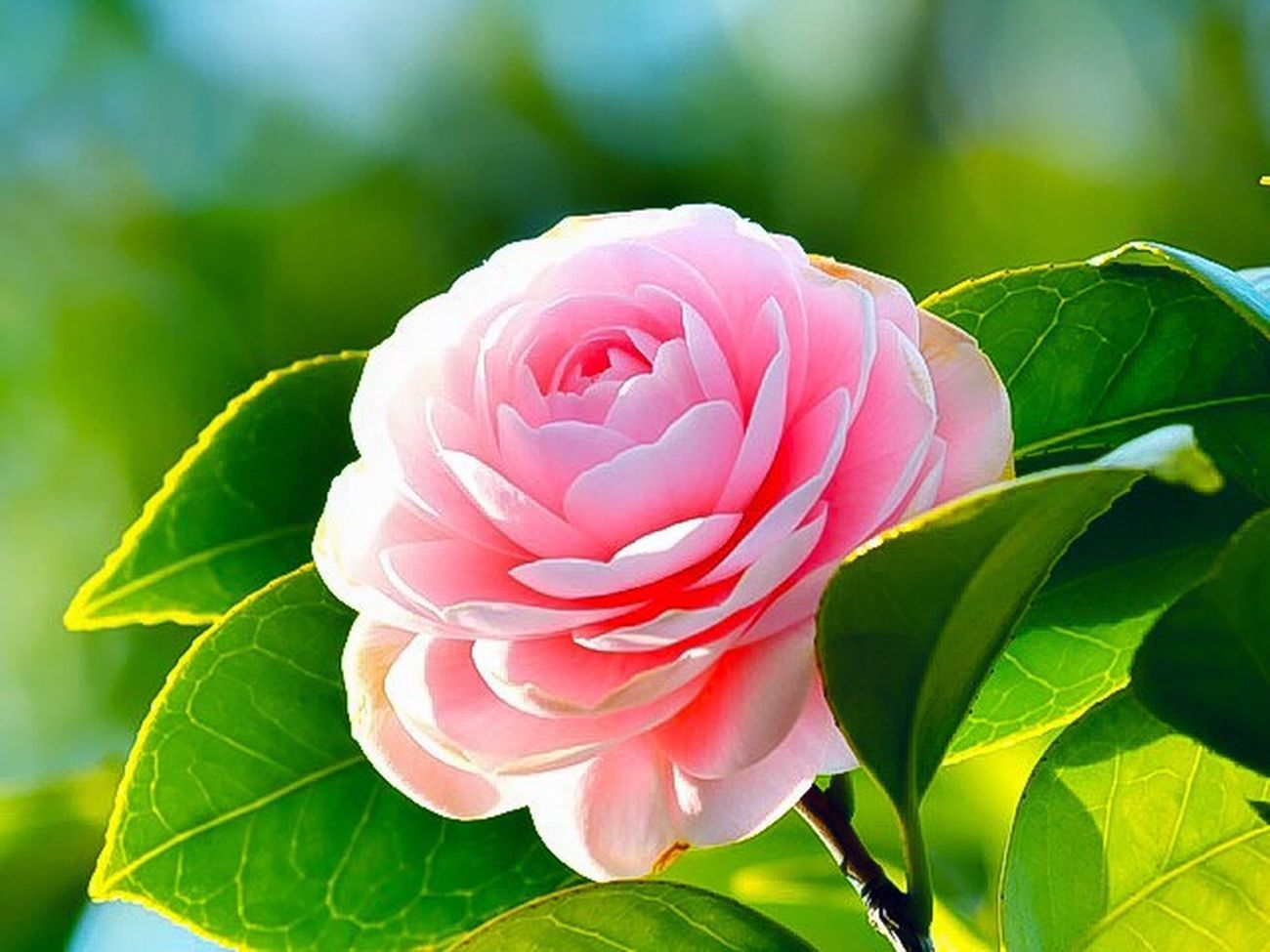 Flower Nature Pink Color Beauty In Nature Growth Plant Flower Head Camellia Flower Camellia