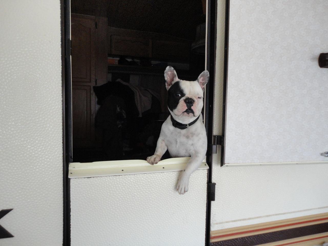 Beautiful stock photos of american bulldog, American Bulldog, Animal Themes, Canine, Carnivora