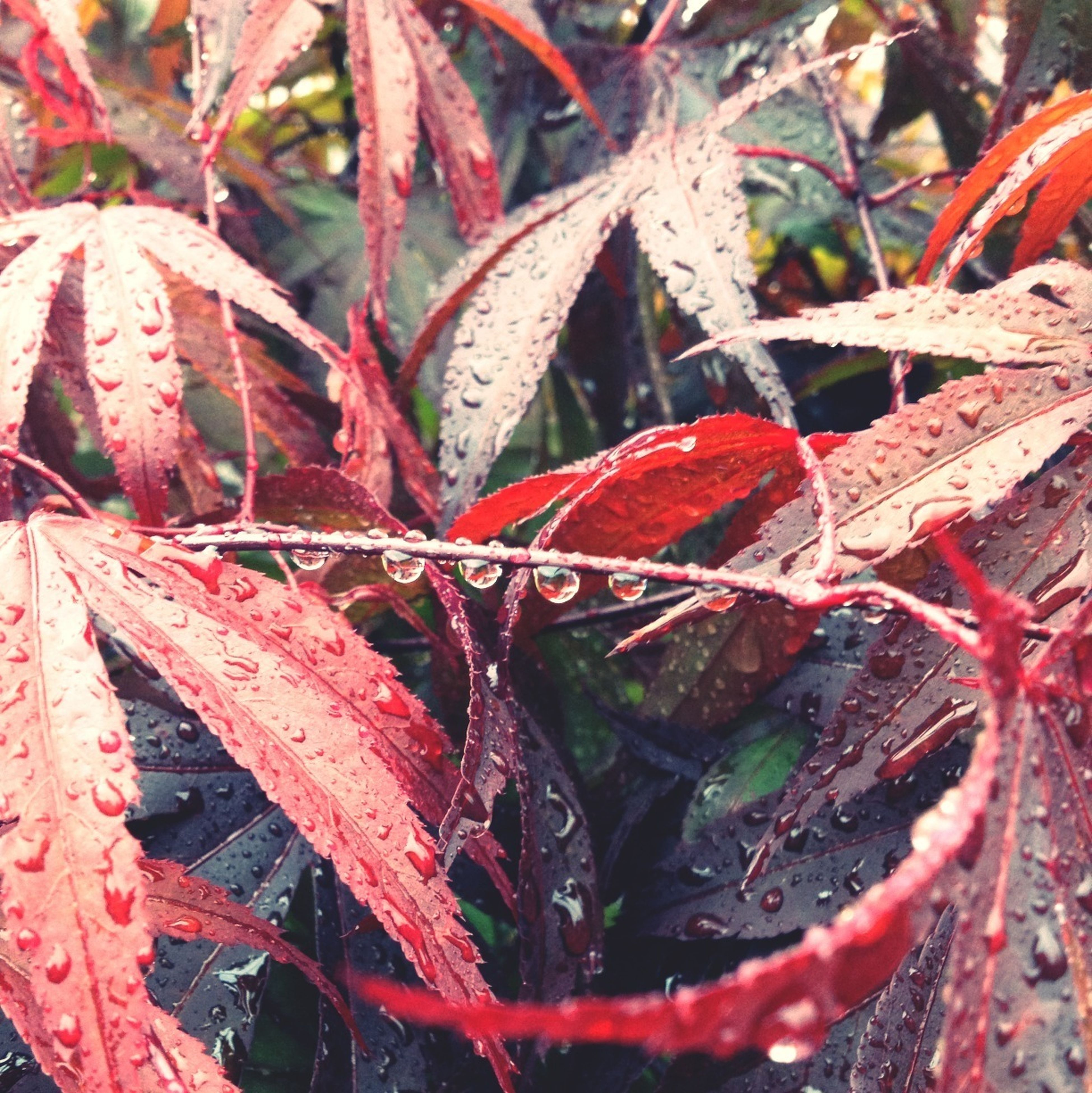 leaf, red, season, close-up, nature, growth, drop, autumn, water, plant, change, beauty in nature, wet, focus on foreground, weather, tranquility, branch, leaves, day, outdoors