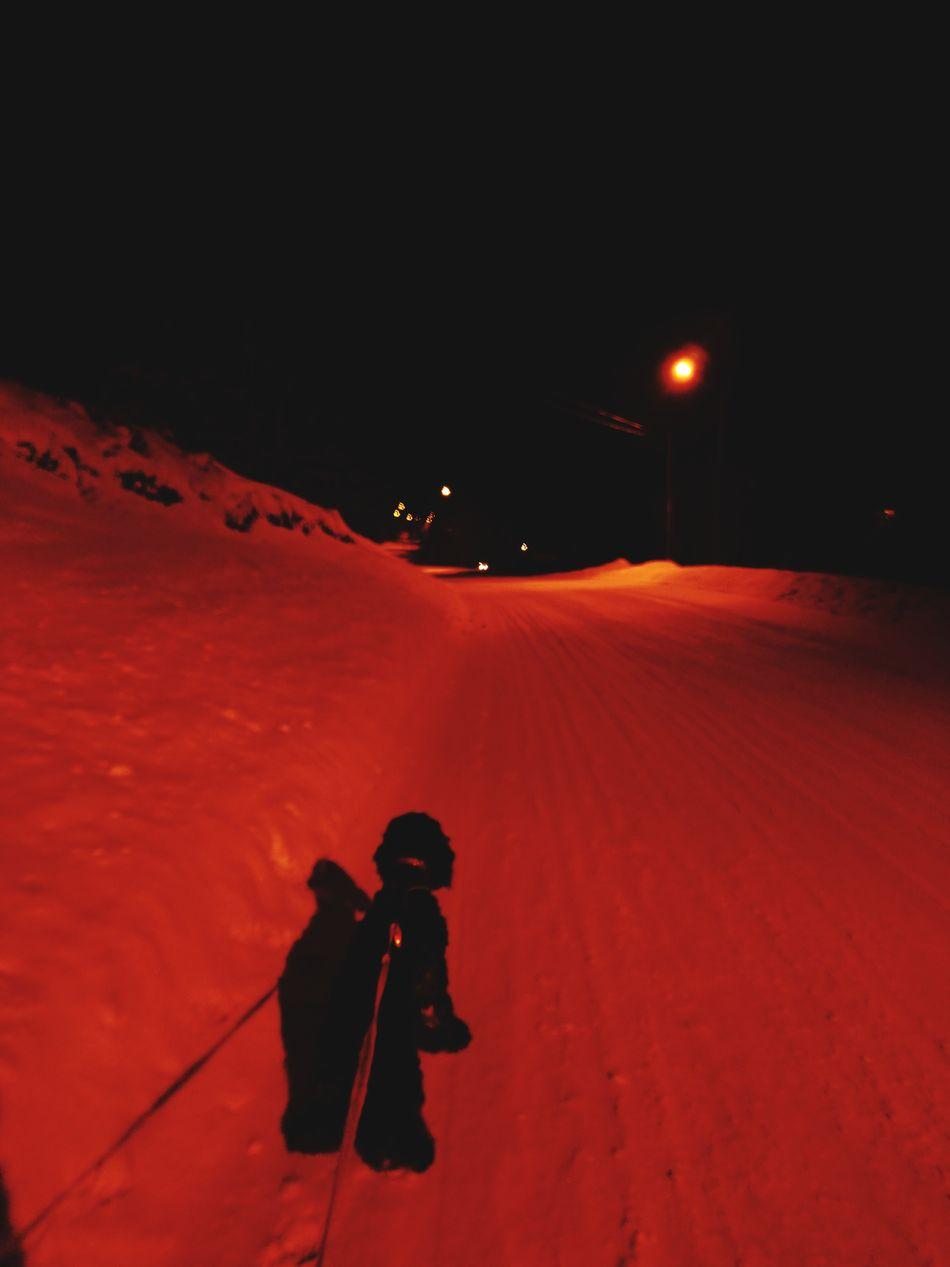 Walk Winter Night Cold Temperature Snow Härjedalen American Cocker Spaniel Dog Bella Walking With My Dog